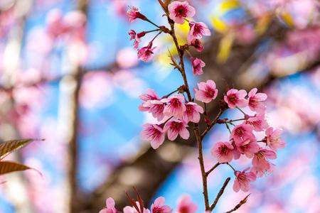 Flores de cerejeira ou flor Sakura no parque nacional chiang mai Tailândia Foto de archivo - 90694579