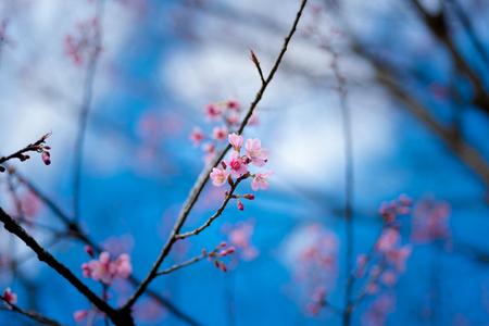 Flores de cerejeira ou flor Sakura no parque nacional chiang mai Tailândia Foto de archivo - 90680906