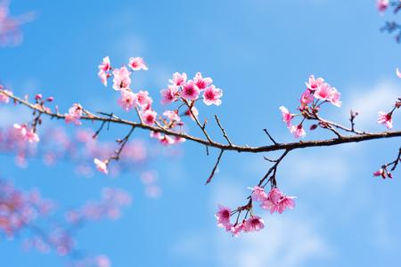 Flores de cerejeira ou flor Sakura no parque nacional chiang mai Tailândia Foto de archivo - 90667021