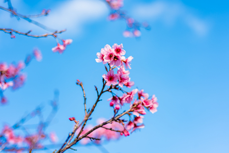 Flores de cerezo o sakura flor en el parque nacional chiang mai tailandia Foto de archivo - 91028861