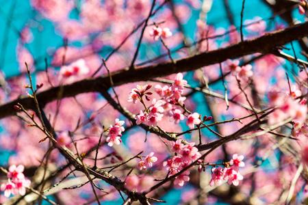 Flores de cerejeira ou flor Sakura no parque nacional chiang mai Tailândia Foto de archivo - 90932858