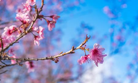 Flores de cerezo o flor de Sakura en el parque nacional chiang mai Tailandia Foto de archivo - 90694585