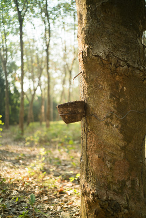 rubber: Rubber Latex of rubber trees. Stock Photo