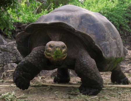 darwinism: Galapagos tortoise, Santa Cruz island