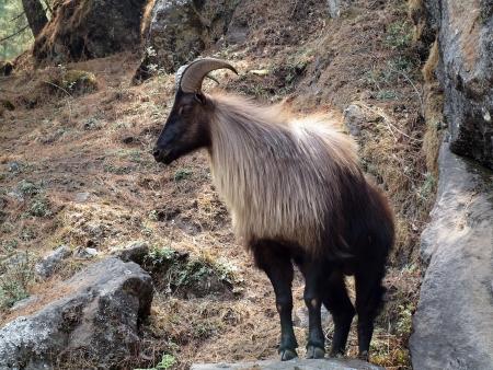 Mountain-goat, on way to Namche Bazar Stock Photo - 17277180