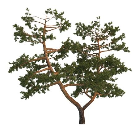 tree isolated: 3D illustration pine tree isolated on white background