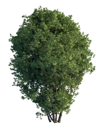 pine tree isolated: 3D illustration pine tree isolated on white background
