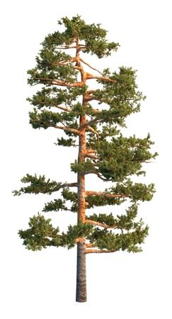 evergreen tree: 3D illustration pine tree isolated on white background