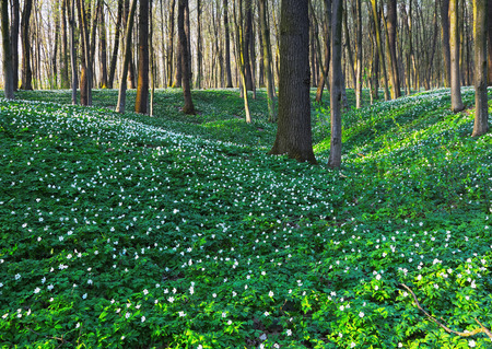 Anemone sylvestris covered the entire meadow among large oak trees and green grass on a spring day.