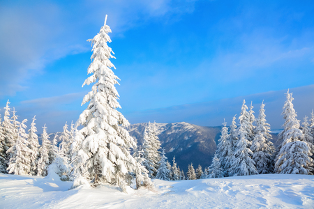 christmas grounds: On a frosty beautiful day among high mountains and peaks are magical trees covered with white fluffy snow against the magical winter landscape. Stock Photo