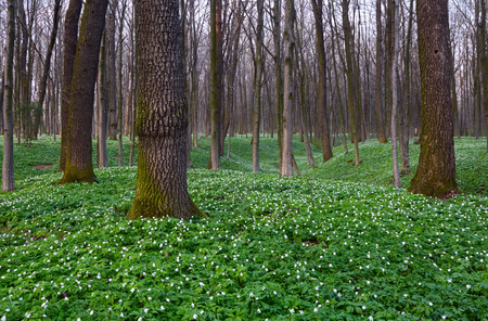 Among a large fantastic meadow grows charming white snowdrop anemone on green grass and trees around it.