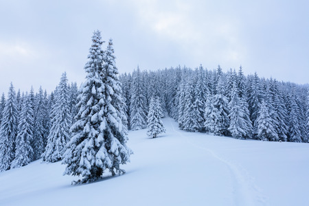 On a frosty beautiful day among high mountains and peaks are magical trees covered with white fluffy snow against the magical winter landscape. Stock Photo