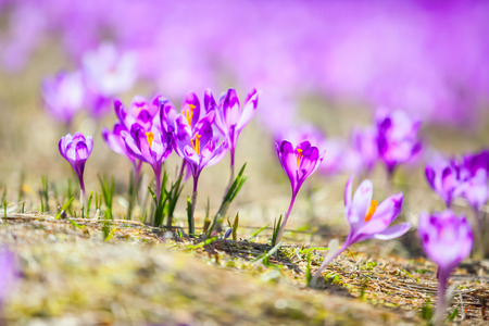 Fantastic purple crocuses with yellow stamens grow on the mountain valley, covered with green grass.