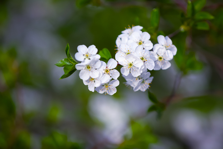 Charming dreamy single branch with white blossoms on a gray background.   Stock Photo