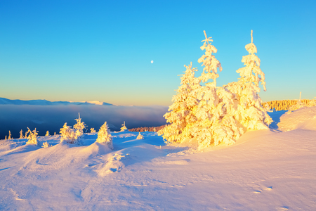 On the lawn covered with snow the nice trees are standing poured with snowflakes in frosty winter day.    Stock Photo