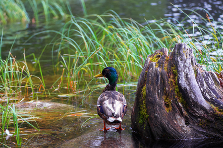 The duck  with fantastic colour of feather stays on the rock in the water. The brown stump overgrown with moss. Stock Photo