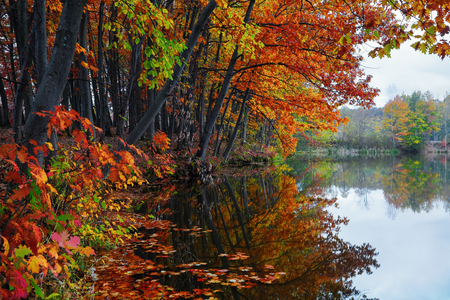 Beautiful scarlet, yellow, orange trees at the river coast reflect in the water where the leaves are floating. Nice autumn landscape in village.