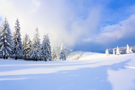 On the wide lawn there are many fir trees standing under the snow on the frosty winter day. The game of light and shadow beautifully plays with volumes. Beautiful winter background. Stock Photo