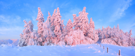 From the snow covered lawn there is a view to nice trees covered by frost and snow. Light pink sun rays of sunset enlighten sky and trees. Wooden fence and tall spruces.