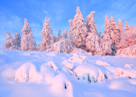 From the snow covered lawn there is a view to nice trees covered by frost and snow. Light pink sun rays of sunset enlighten sky and trees. Magic winter landscape.