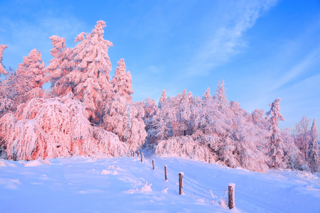 Nice twisted trees covered with thick snow layer enlighten rose colored sunset in beautiful winter day.Unbelievable scene with snow covered forests. Wooden fence and tall spruces. Stock Photo