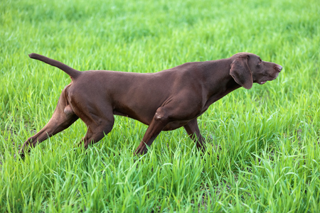 A young muscular brown hunting dog is standing in a point in the field among the green grass. A spring warm day. German Shorthaired Pointer.