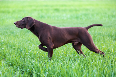 The brown hunting dog freezed in the pose smelling the wildfowl in the green grass. German Shorthaired Pointer.