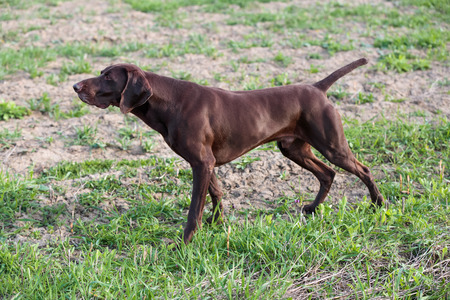 A muscular chocolate brown hound, German Shorthaired Pointer, a thoroughbred, stands among the fields in the grass in the point, sniffed the smell of a wild game. Reklamní fotografie