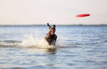 On the beautiful sunny day at the lake the playful dog is jumping from the water. Splashes and waves. Silhuoette reflection. Funny twisted ears. Thoroughbred German shorthaired pointer.