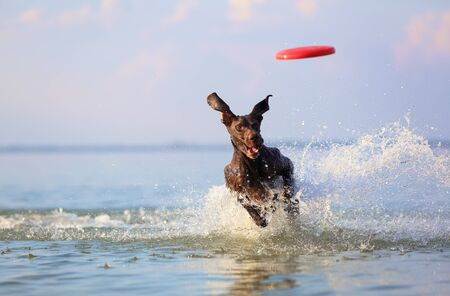 On the beautiful sunny day at the lake the playful dog is jumping from the water. Splashes and waves. Silhouette reflection. Funny twisted ears. Thoroughbred German shorthaired pointer.