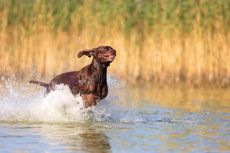 Happy playful muscular thoroughbred hunting dog German shorthaired pointer. Is jumping, running on the water splashing it around on sides. Reflection of the silhouette. Funny stick out ears.