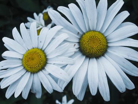a few daisies in white on a dark background