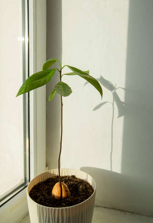 young avocado tree grown from seed in a flower pot. High quality photo