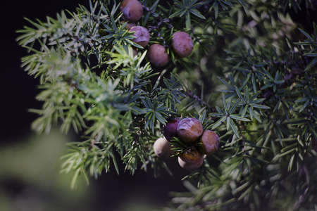 juniper: juniper with fruits prelimi