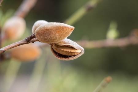 Ripe almonds on the tree branch.