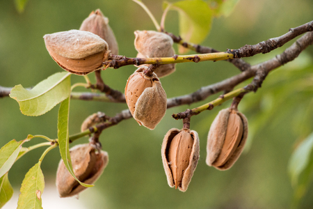 Ripe almond nuts on the branches of almond tree in early autumn. Ripe almonds on the tree branches. Horizontal. Daylight. Stockfoto