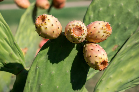 barbary: Prickly pear cactus with fruits called also Opuntia, ficus-indica, Indian fig opuntia, barbary fig, tuna, growing near to the sea in the summer time. Fruits of prickly pear cactus. Horizontal Close. Stock Photo