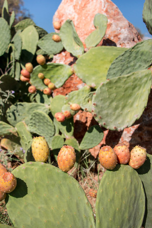 Prickly Pear Cactus With Fruits Called Also Opuntia Ficus Indica