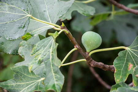 fig fruit: Growing fig fruit on the branch in summer time. Young fig fruit. Horizontal. Close.