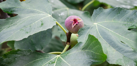 selected: Growing fig fruit on the branch in summer time. Young fig fruit. Horizontal. Close.