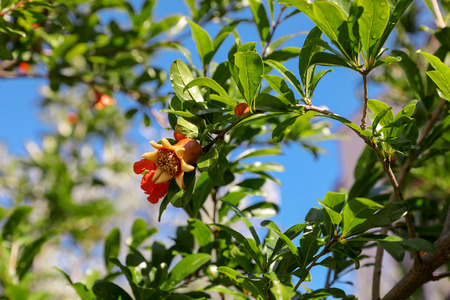 Flowering branches of pomegranate tree. Horizontal. Close-up Stock Photo