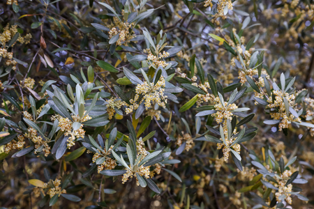 Flowering branches of olive tree. Horizontal. Selective focus. Close-up