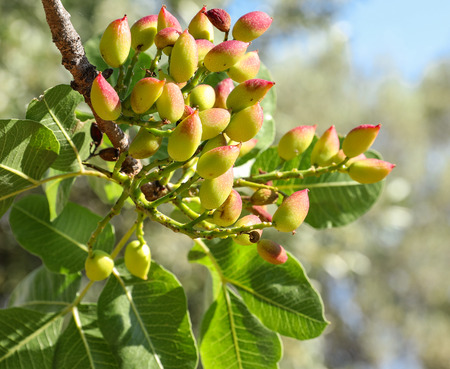 Growing pistachios on the branch of pistachio tree. Spring, May. Horizontal. Close-up. 免版税图像