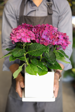 Flowerpot of the fuschia hydrangea or Hydrangea macrophylla in the hands of a gardener at the garden shop. Stock Photo