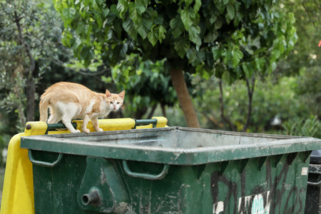 Stray cat looking for the remains of food in the trash can. Banco de Imagens