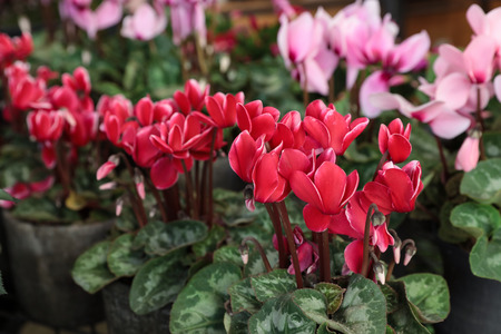 Red and pink potted cyclamen persicum plants in the flowers bar. Stock Photo
