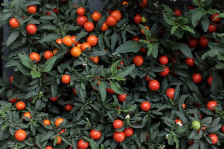 Winter cherry plant Solanum Pseudocapsicum ornamental plant for Christmas.