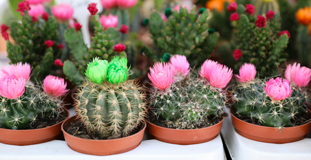 Colorful collection of small decorative cactuses flowering plants in pots.
