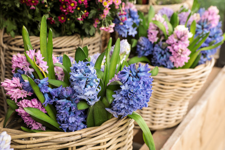 Springtime. Beautiful hyacinth flowers in blue and pink colors in a wicker baskets for sale in a flower garden shop. Banque d'images