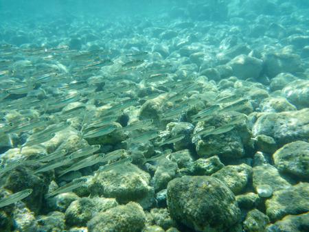 UNTERWASSER Blick auf eine kleine Fischherde im türkisfarbenen klaren Wasser und weißen Kieselsteinen, die vom Meeresboden der Bucht von Antisamos, Insel Kefalonia, Ionisches Meer, Griechenland verstreut sind. Natürlicher Hintergrund. Horizontal.